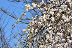 shidareume_17228c (takao-bw) Tags: 白梅 梅 枝垂れ梅 ウメ japaneseapricot spring plant woodyplant 木本 植物 japan