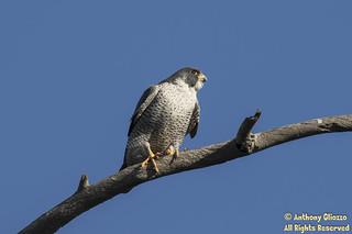 Peregrine Falcon (2224)