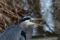 Great Blue Heron Swallowing Fish (brian.bemmels) Tags: greatblueheron heron ardea herodias ardeaherodias richmond bc terranovapark canada catfish fish swallow