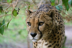 Built for speed... (RALPHKE) Tags: cheetah acinonyxjubatus jachtluipaard closeup animals animal gaiazoo zoo bigcats worldsfastest nature natuur mammal zoogdieren netherlands canon canoneos750d builtforspeed earthnaturelife portret ngc animalplanet