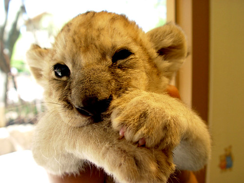 A two month old lion cub is