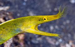 ybreel1588pcw (gerb) Tags: topv111 510fav wow indonesia topv333 underwater scuba d200 lembeh blueribboneel animalkingdomelite tvx