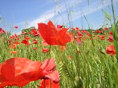 Poppies (filippo rome) Tags: italy poppies