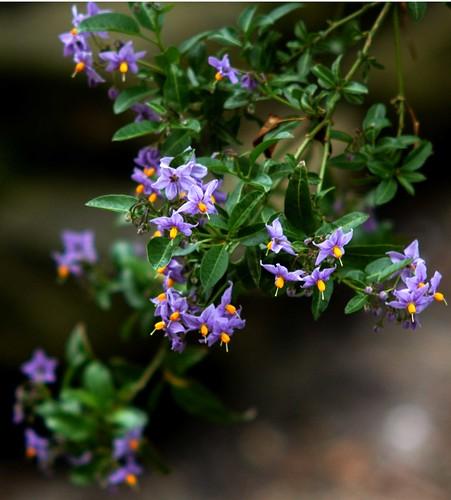 Solanum-blossom