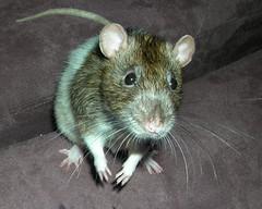 cutie (Kharizmarae82) Tags: pet cute furry rat angle whiskers neat ratty ratti