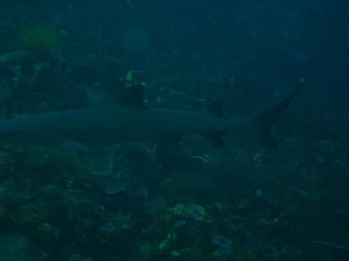 Tiburon, white tip