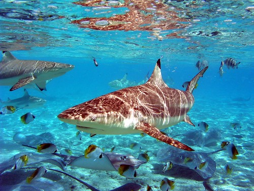 Blacktip Shark feeding in Bora Bora, French Polynesia