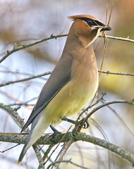 """Homesteading"" (Cedar Waxwing) (Rick Leche) Tags: cedarwaxwing bombycillacedrorum flickrexplorer interestingness250 specanimal june82006 2006t20"