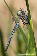 Dragonfly - Anax-imperator (Luís Louro) Tags: macro male nature animals nikon dragonflies wildlife insects planet anaximperator itsonginvite itsong–nikond200
