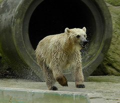 running bear (bea2108) Tags: bear animal animals zoo