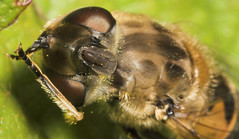 """Hoverfly taking a wash • <a style=""""font-size:0.8em;"""" href=""""http://www.flickr.com/photos/57024565@N00/166490080/"""" target=""""_blank"""">View on Flickr</a>"""