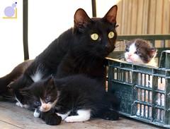 Micini (cyandrea) Tags: baby black nature animals cat andrea wildlife gatto animali cima micio gattino cuccioli micini cyandrea serniotti