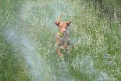IMG_4812 (holdrioo_ch) Tags: dog animal ilovenature jumping vizsla running pollen alvaro huntingdog magyarvizsla