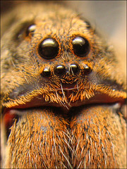 Wolf spider, up and close (Techuser) Tags: macro nature animal topv111 spider eyes close arachnid small top20macro lycosa specanimal