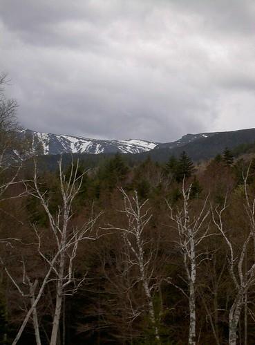 New Hampshire birches