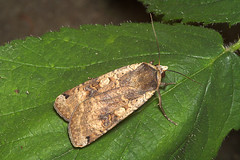 """Ingrailed Clay Moth (Diarsia mendica)(1) • <a style=""""font-size:0.8em;"""" href=""""http://www.flickr.com/photos/57024565@N00/171175741/"""" target=""""_blank"""">View on Flickr</a>"""