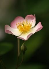 E-500 Spiritual (Coeur De Lion Photography) Tags: flowers flower macro rose ysplix
