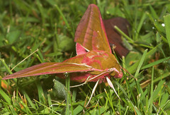 "Elephant HawkMoth (deilephila elpanor) • <a style=""font-size:0.8em;"" href=""http://www.flickr.com/photos/57024565@N00/176994354/"" target=""_blank"">View on Flickr</a>"
