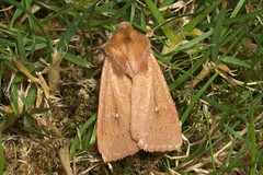 "The Clay Moth (mythimna ferrago) • <a style=""font-size:0.8em;"" href=""http://www.flickr.com/photos/57024565@N00/179069586/"" target=""_blank"">View on Flickr</a>"