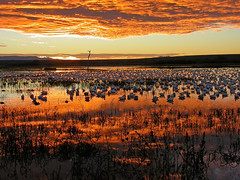 Morning Crowd (Fort Photo) Tags: morning sunset sky sun newmexico color bird nature topf25 birds animal clouds sunrise wow landscape dawn geese topv333 nikon quality wildlife birding 2006 aves goose ave nm migration waterfowl ornithology bosquedelapache avian sunup daybreak morn firstlight snowgeese nikon4500 anatidae snowgoose anseriformes chencaerulescens vibrancy wildbird topvaa 50faves birdphoto anserinae outstandingshots specnature bestnaturetnc06