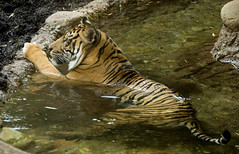 Trying to Cool Off!! (joschmoblo) Tags: wild copyright animal d50 nikon kentucky tiger louisville 18200 allrightsreserved 2007 louisvillezoo joschmoblo christinagnadinger