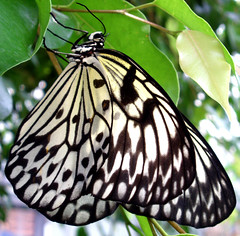 Butterfly dreaming *4 (cattycamehome) Tags: blackandwhite white black macro tree nature beauty tag3 taggedout butterfly insect wings tag2 all tag1 bokeh quote  wing bach rights reserved endoftheworld richardbach catherineingram june2006 specanimal supremeanimalphoto cattycamehome allrightsreserved