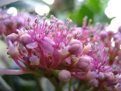 martian life forms? (mairose) Tags: pink flowers newyork flower macro green ilovenature bokeh botanicalgarden flowrpowr bokehsonicejuly bokehsonicejuly07