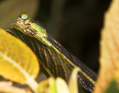 """Damselfly with dinner(2) • <a style=""""font-size:0.8em;"""" href=""""http://www.flickr.com/photos/57024565@N00/187991931/"""" target=""""_blank"""">View on Flickr</a>"""