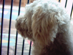 The dog of the house (Talita Souza) Tags: dog pet dogs puppy looking painted cachorro poodle cachorros