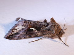 Silver Y (_SMadsen) Tags: moth insects lepidoptera noctuidae plusiinae silvery autographagamma plusiagamma