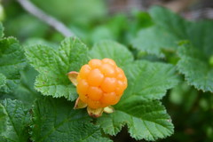 cloudberry