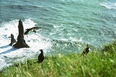 At Swim Three Birds (betablogga) Tags: ilovenature iceland atlantic puffins  vk mrdal reynisfjall