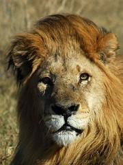 Come Closer If You Dare (Makgobokgobo) Tags: africa lion botswana predator okavango duba panthera pantheraleo okavangodelta i500 specanimal dubaplains animalkingdomelite ng22 dubaboys bfgreatesthits