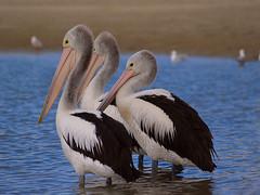 Three Wise Men (Cyron) Tags: bird beach pelicans geotagged photo flickr labrador flickrimportr australia 2006 pelican queensland zuiko cyron goldcoast pelecanus australianpelican pelecanusconspicillatus zd 40150mm pc4215 geo:tool=gmif geo:lat=27941214 geo:lon=153408773 40150mmf3545 wildlifeofaustralia taxonomy:class=aves taxonomy:kingdom=animalia taxonomy:phylum=chordata taxonomy:order=pelecaniformes taxonomy:family=pelecanidae taxonomy:genus=pelecanus taxonomy:species=conspicillatus taxonomy:binomial=pelecanusconspicillatus taxonomy:common=australianpelican