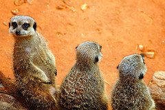 You Just Have To Look, Don't You? (Flipped Out) Tags: chicago illinois lincolnparkzoo gettyimages chicagoillinois meerkats scoreme43 interestingness402 i500 animalkingdomelite explore26jul06