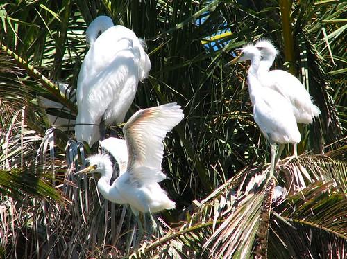 Baby egrets!