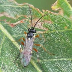 Ichneumonidae (Walwyn) Tags: macro insect ichneumon warwickshire ichneumonidae walwyn diplazon laetatorius profmoriartydotcom:book=632 profmoriartydotcom:book=814 diplazonlaetatorius profmoriartydotcom:book=878 profmoriartydotcom:book=877