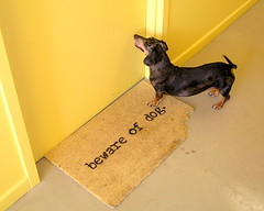 vicious dog (SuperDave!!) Tags: 15fav dog pet heidi 2006 dachshund cdeii