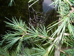 Spider web (shakirhussain) Tags: nathiagali