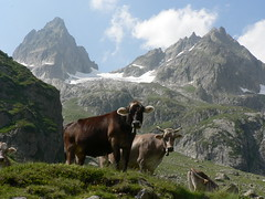 Brown Swiss (outdoorPDK) Tags: switzerland sustenpass swisscows spectacularswiss