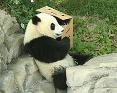 This box makes a nice armrest (somesai) Tags: panda tian tai nationalzoo endangered sideview ts pandas meixiang taishan dczoo butterstick pandaunlimited