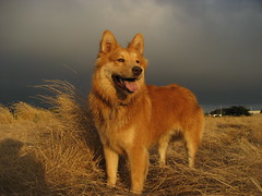 golden light (eetree) Tags: california light rescue dog grass topv111 fog golden interestingness mutt topv555 topv333 milo topv1111 topv999 naturallight 100v10f fv5 topv222 explore bayarea topv777 pointisabel eastbay 5bestdogs dogpark untouched mlp chowchow smileofadog fozi cotcmostinteresting topvaa interestingness54 i500 explore16aug06 eetree mattlehmanphotography mattlehmanphotocom
