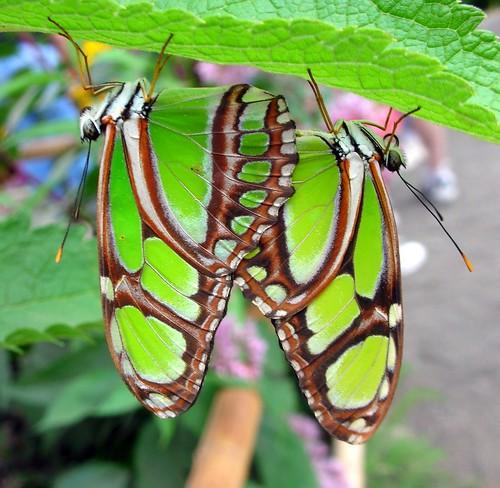 Butterfly Sex....