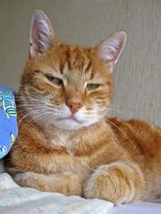 Beertje 04 2006-18-08 (Eisbeertje) Tags: pet cats pets animal animals cat katten kat gato katze dieren huisdier dier katzen poes poezen eisbeertje