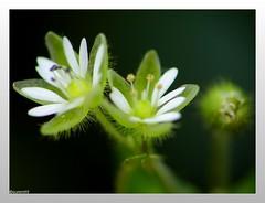 Weekend Flower Power ;) (summ99) Tags: flower nature beauty ilovenature star bloom blume stern blte