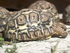 Tortoise (sitharus) Tags: newzealand zoo raw tortoise wellington e300