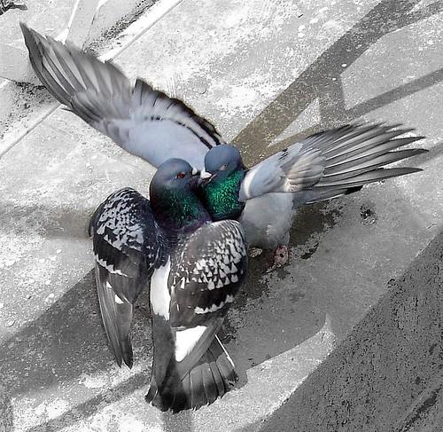 galambok szeretkeznek