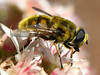 Closeup of Bee at Casa Aljibe (tr1stero) Tags: 2005 macro closeup insect bee lapalma kiss2 kiss3 kiss1 cy2 ipernity challengeyouwinner tr1stero specinsect