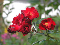 Roses for my kind flickr friends! (haikulinde) Tags: red roses nature garden bravo gtaggroup abigfave