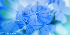 blue light (frederic.gombert) Tags: plumbago light blue summer green sun sunlight flower flowers plant color colorful sony macro alpha7 r2